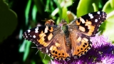 Painted Lady Butterfly - SD & HD still