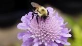 Bee on a Pincushion Flower - SD & HD still