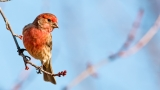 House Finch Still - SD & HD included!