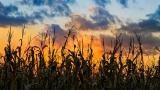 Sundown Cornfield Still - SD & HD included!