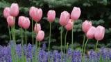 Pastel Pink Tulips and Purple Ajuga Loop