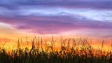 Cornfield Sunset Silhouette