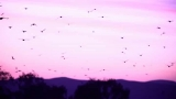 HD Birds soaring over amazing sunset