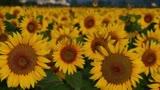 Quiet Sunflower Sunrise