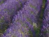 Lavender Meditations 2