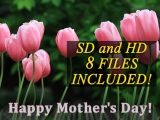 Pink Tulips - Mother's Day Collection - Motion & Still - SD & HD