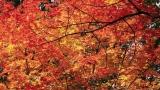 Stunning Autumn Maple - HD & SD Loops