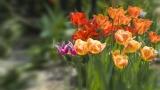 Tulips - Multicolor Group - SD & HD still