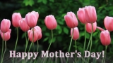 Mother's Day Pink Tulips