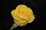Mother's Day - Yellow Rose