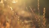Golden Wheat in the Sunlight